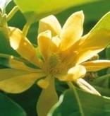 Farfalla Magnolia (Champaca) 10%, BIO, Abs., 5ml