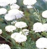 Farfalla Kamille,Roomse (Kamille Romisch) BIO 1 ml.