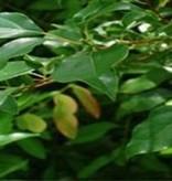 Farfalla Ho Blad etherische olie Sel. 5 ml.