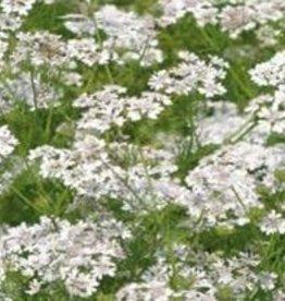 Farfalla Koriander (Koriandersamen) BIO-demeter 5 ml.
