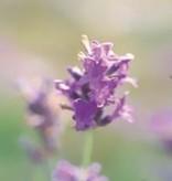 Farfalla Wilde Berg Lavendel etherische olie BIO 5 ml.