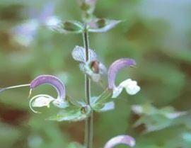 Farfalla Scharlei (Muskatellersalbei) 5 ml. BIO Demeter