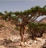 Farfalla Wierook etherische olie 5 ml. Olibanum - Frankincense, bio wildpluk