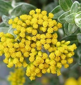 Helichrysum (Strobloem-Immortelle) Hydrolaat 150 ml.