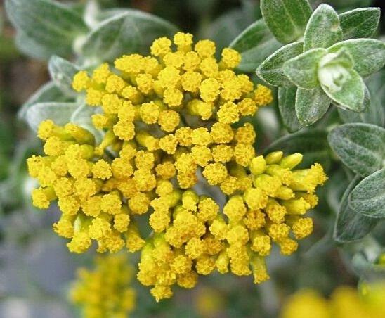 Farfalla Helichrysum (Strobloem-Immortelle) Hydrolaat 100 ml.