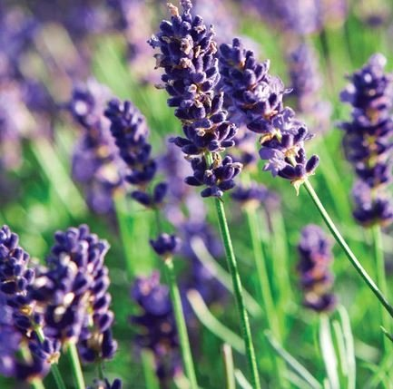 Lavendelhydrolaat BIO 100 ml.