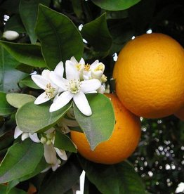Farfalla Oranjebloesemhydrolaat (Neroli) BIO 100 ml.
