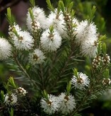 Farfalla Tea tree hydrolaat (teebaumwasser) BIO, 100 ml.