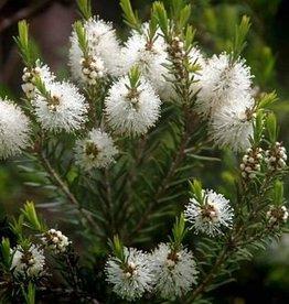 Farfalla Tea tree hydrolaat (teebaumwasser) BIO, 75 ml.