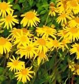 Arnica (Valkruid) bloemen 50 gram