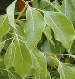 Farfalla Ravintsara 5 ml. BIO