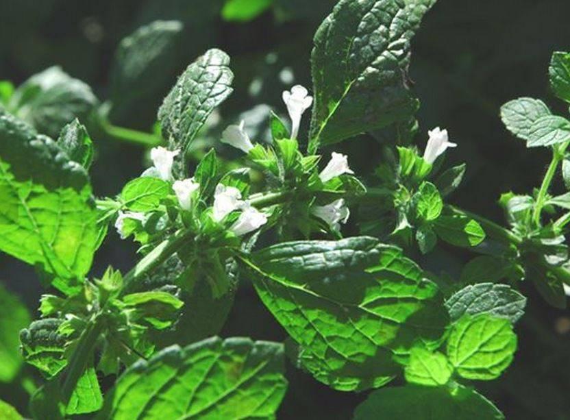 Farfalla Melisse (Citroenmelisse) etherische olie BIO 1 ml.