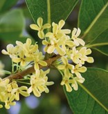 Farfalla Osmanthus 5%  (Zoete Olijf) 5 ml.