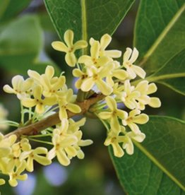Farfalla Osmanthus 5%  5 ml.
