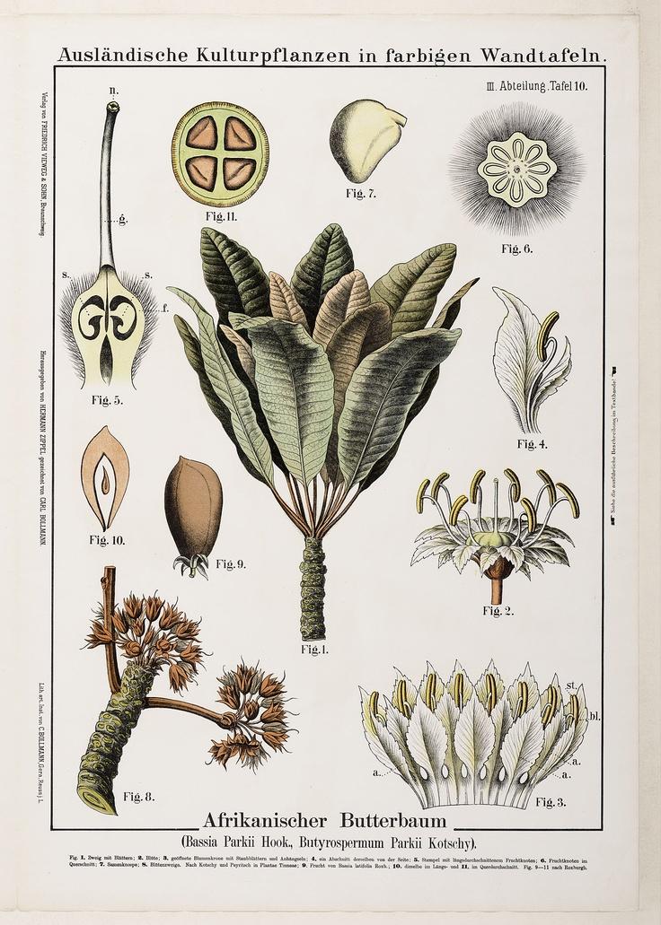 karité vitellaria paradoxa