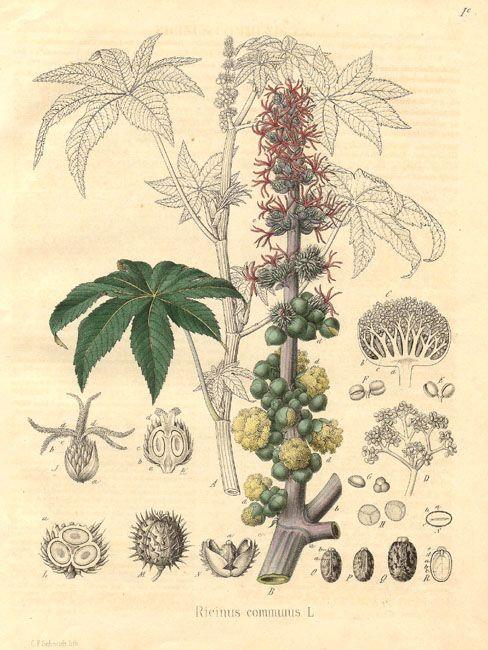 wonderboom castor ricinus communis