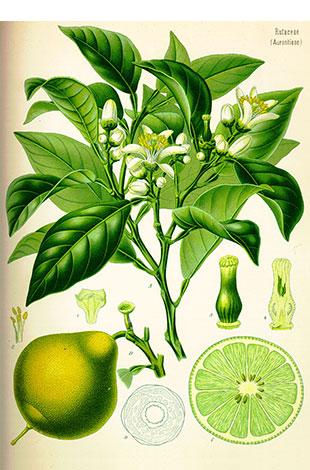 limoen citrus aurantifolia