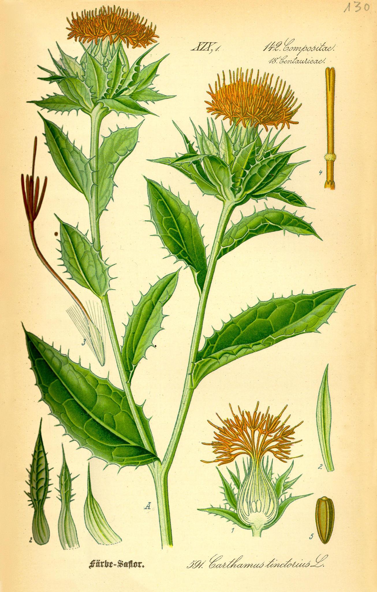 saffloer carthamus tinctorius