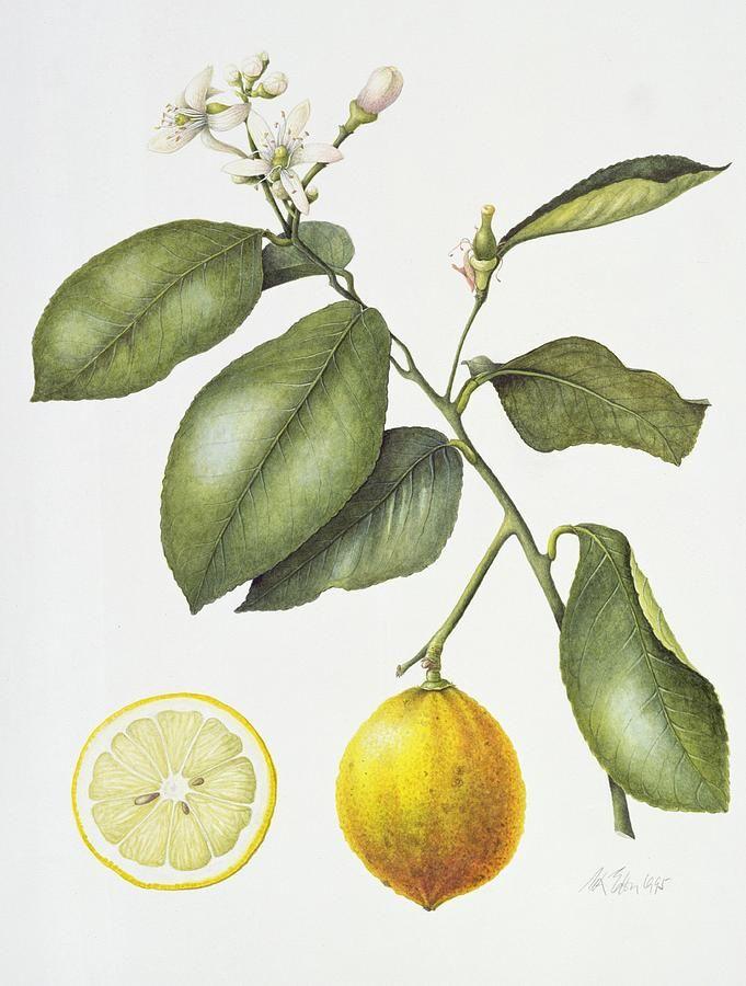 bergamot citrus bergamia