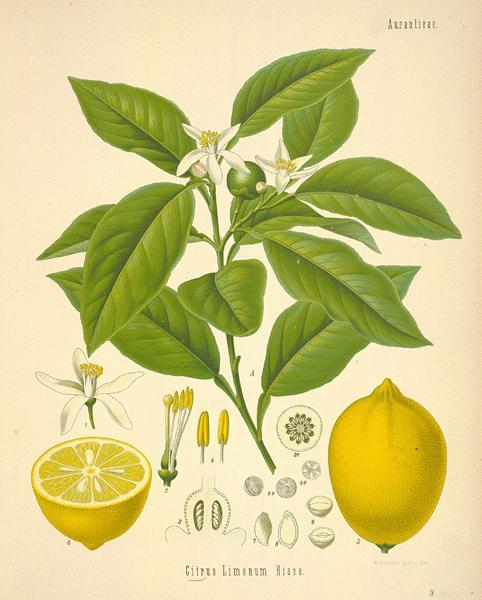 citroen citrus limon