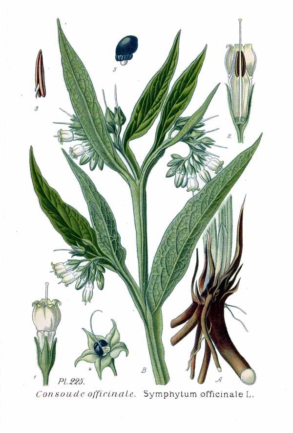 werfzeep - smeerwortel