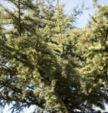 Botanische Tuinenzeep III - ceder & laurel