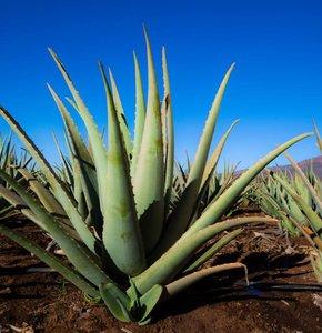 10 Gründe, warum Sie Aloe Vera im neuen Jahr nutzen sollten!