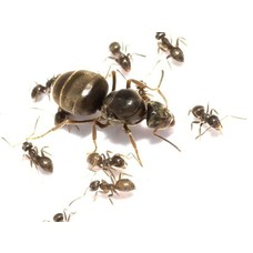 Lasius niger colony queen and 1-4 workers