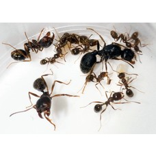 Messor barbarus colony, queen and 2-8 workers