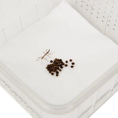 Growkit Eggs of Indian stick insect, PSG1