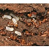 Myrmica rubra colony, 2 gynes and 10-40 workers