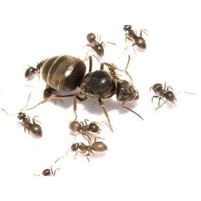 Lasius niger kolonie, koningin en 1-4 werksters
