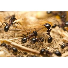 Mierenfamilie M met 10-15 werksters