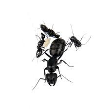 Camponotus barbaricus kolonie, koningin en 1-4 werksters