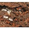 Myrmica rubra 2 koninginnen en 10 werksters