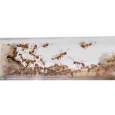 Myrmica rubra 2 koninginnen en 30 werksters