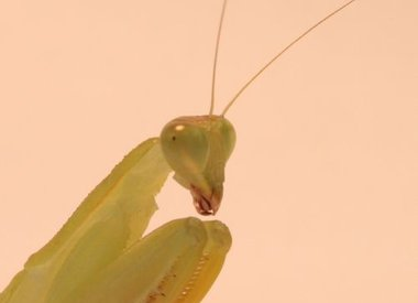 Sphodromantis lineola