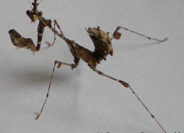 Sybilla pretiosa