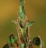 Ghost Bidsprinkhaan - Phyllocrania paradoxa