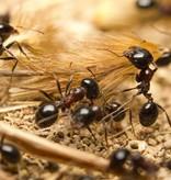 Mierenfamilie XL met 25-30 werksters