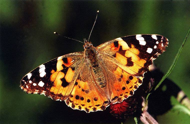 Reuze Vlinder kweekset