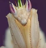 Orchidee Bidsprinkhaan - Hymenopus coronatus