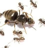 Lasius niger kolonie, koningin en 10+ werksters
