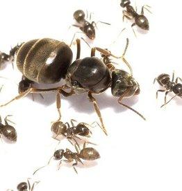 Lasius niger kolonie, koningin en 5-10 werksters
