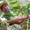 Maragogype Nicaragua