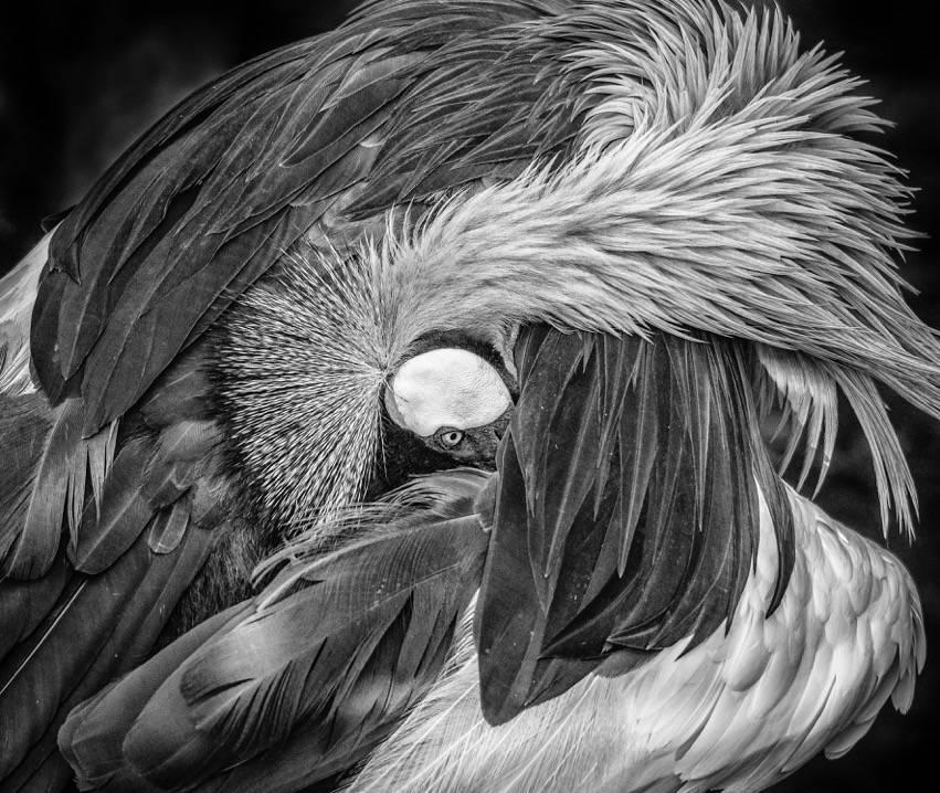 Umo Art Gallery Grey Crowned Crane