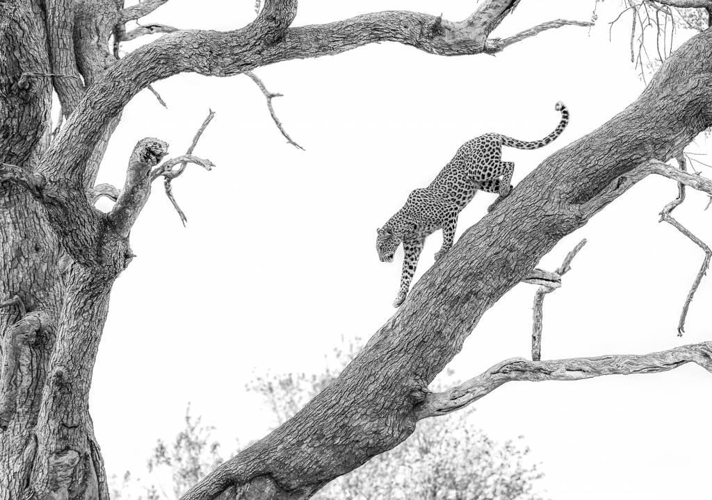 Umo Art Gallery High key Leopard