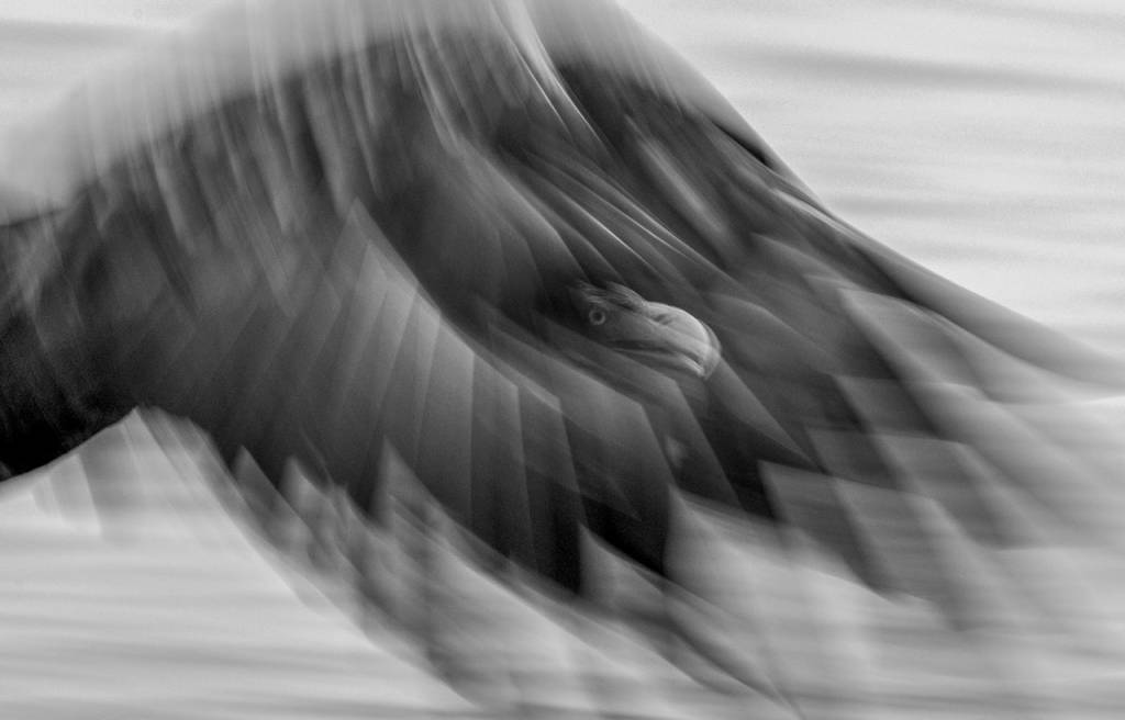 Umo Art Gallery Sea eagle - ghost