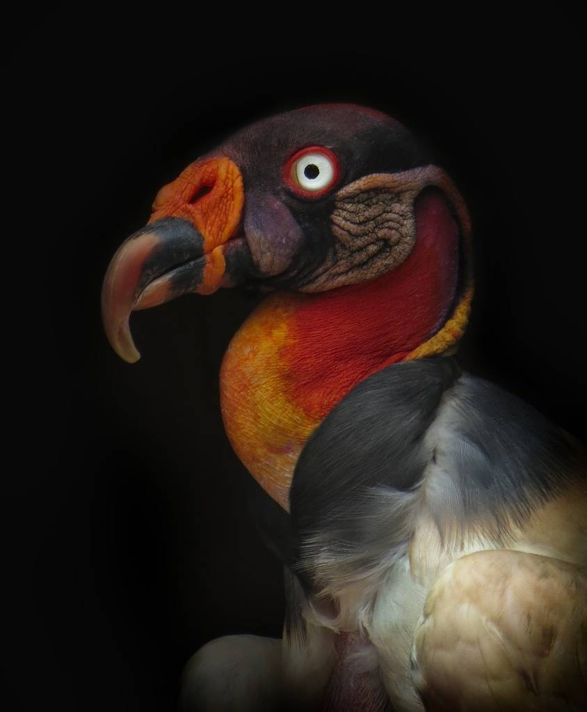 Umo Art Gallery King vulture-Sarcoramphus papa