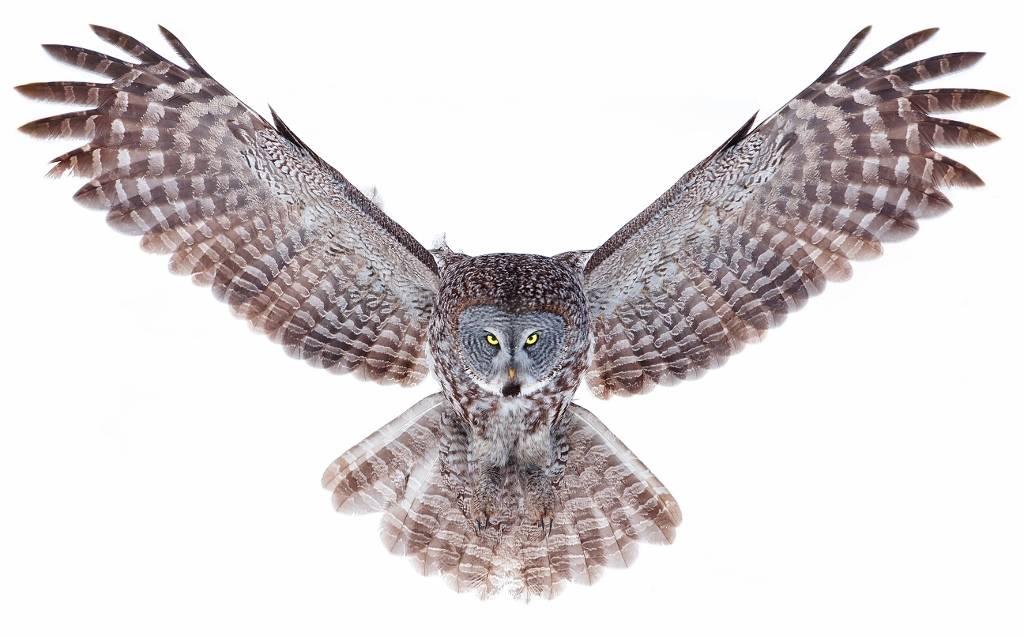 Umo Art Gallery Power - Great Grey Owl
